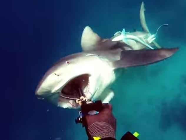 Нападение небезопасной акулы начеловека попало навидео