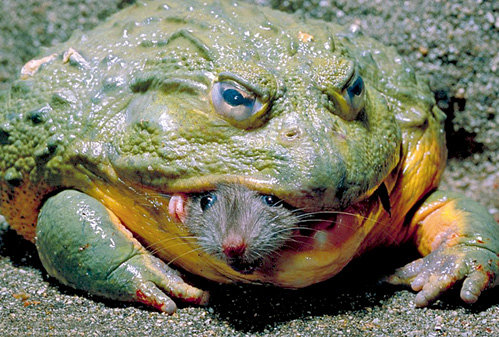 Лягушка-бык пожирает не только крыс и мышей, но и других лягушек