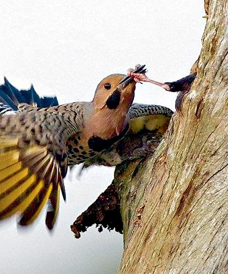 Обыкновенный скворец - птица агрессивная...