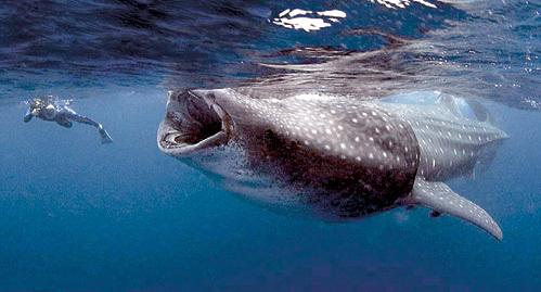 Самая крупная из акул - китовая - только выглядит пугающе. Для человека она не опасна, так как питается планктоном