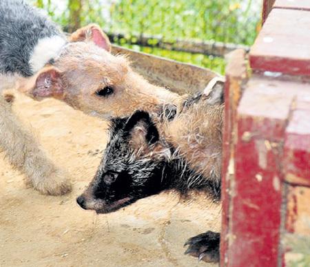 Ягдтерьеры - самые агрессивные и злобные среди охотничьих собак