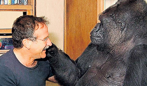 В 2001 году Коко познакомилась с Робином УИЛЬЯМСОМ. Когда в прошлом году ей сказали, что актёр умер, она долго грустила. А ведь гориллы гораздо менее развиты, чем шимпанзе и орангутанги