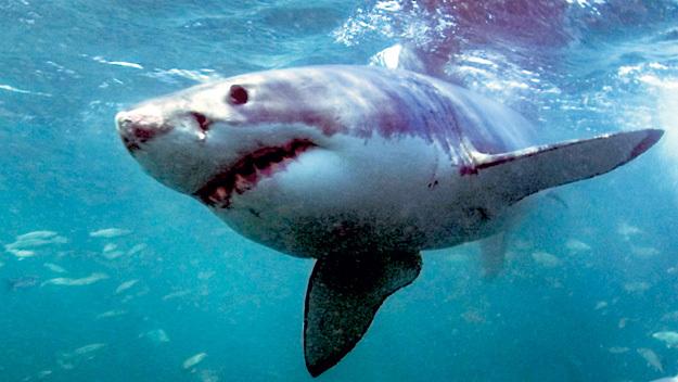 От большой белой акулы Хью спасался во всю прыть