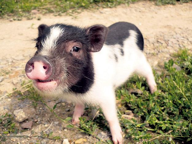 Кошерная свинка с красивым именем
