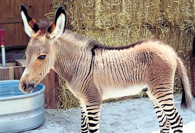 Зеброидов в Африке используют как вьючных, хотя они агрессивнее лошадей