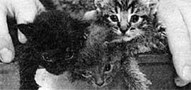 БЛИЗНЕЦЫ: у кошек девять жизней