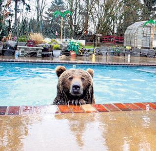 Брутус обожает купаться в хозяйском бассейне