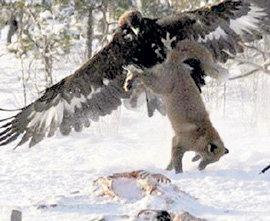Подлетев с тыла, орёл лишил лисицу возможности сопротивляться