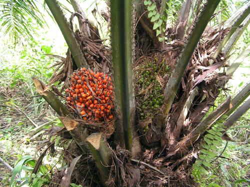 Плоды масличной пальмы. Фото: Википедия