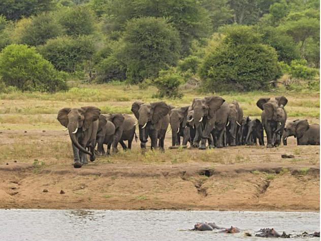 Нападение разъяренной слонихи набегемотов сняли навидео