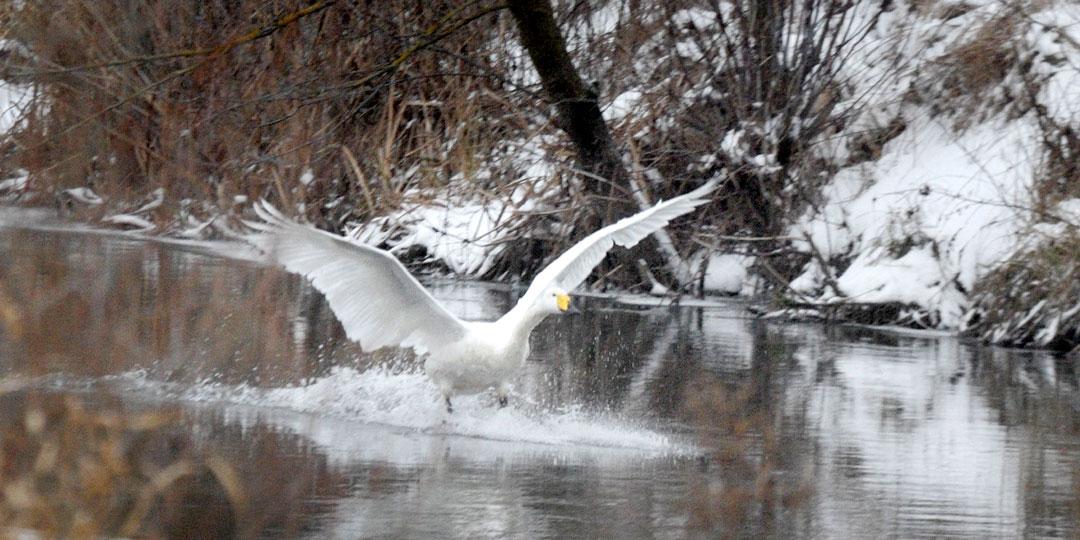 Жители села взяли шефство над зимующим лебедем